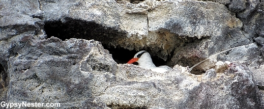 Red-billed Tropicbirds in the Galapagos