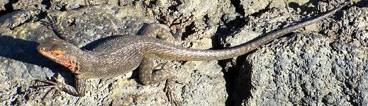 Lava Lizard in Galapagos Island