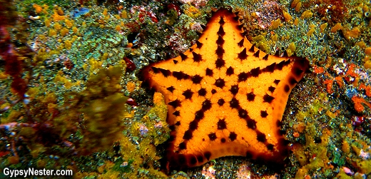 Chocolate chip sea star, starfish in the Galapagos Islands