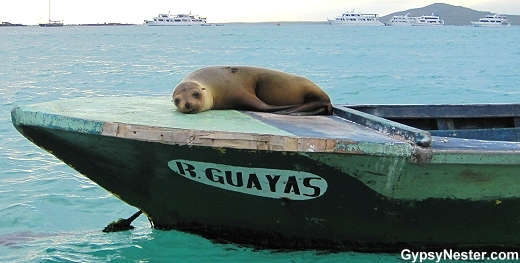 Sea lion lounging on a boat in the Galapagos Islands