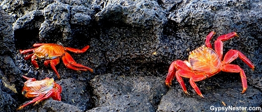 Sally Lightfoot crabs on the lava of The Galapagos Islands