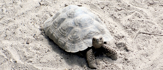 adolescent giant tortoise in The Galapagos