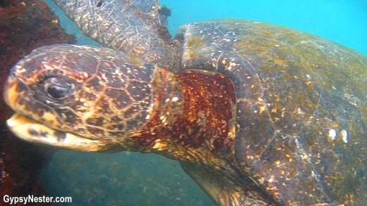 Green Sea Turtles in Galapagos Island, Ecuador
