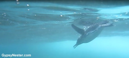 A penguin swims in the Galapagos