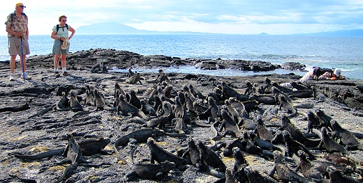 So many iguanas in the Galapagos!