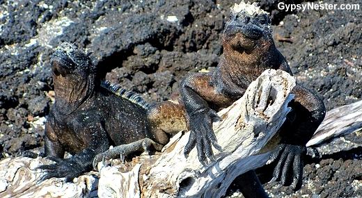 Marine iguanas basking in the sun in the Galapagos