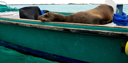A sea lion suns himself on a boat in The Galapagos Islands