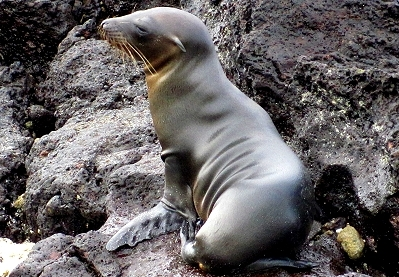 Sea lions have ear flaps, seals do not