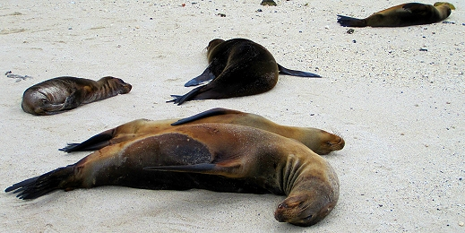 So many sea lions in the Galapagos!