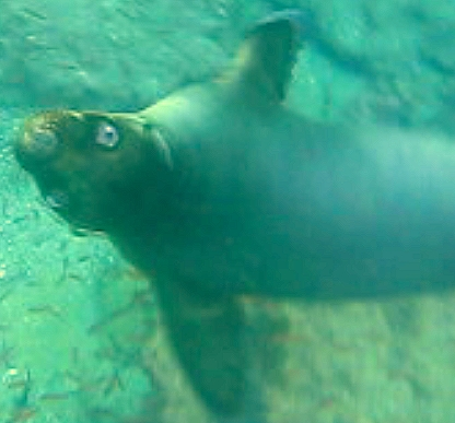 Snorkeling with a sea lion is the galapagos!