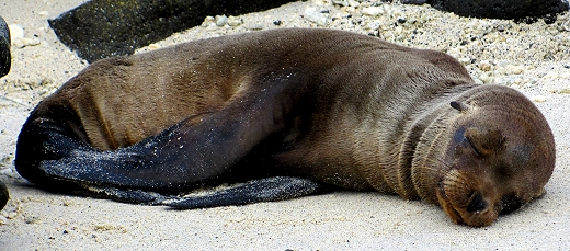 A sea lion pup takes a nap on the beach in the Galapagos Islands