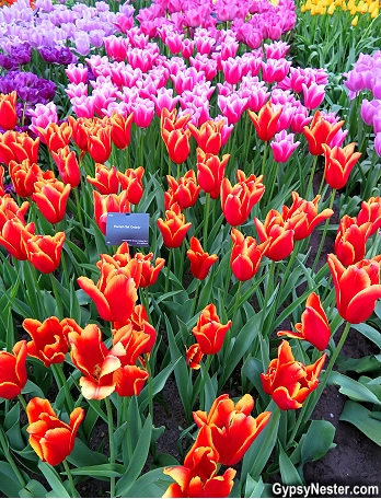 Tulips in the Keukenhof Gardens in Lisse, Holland, The Netherlands