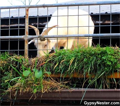 Goats on the Roof, Helen, Georgia