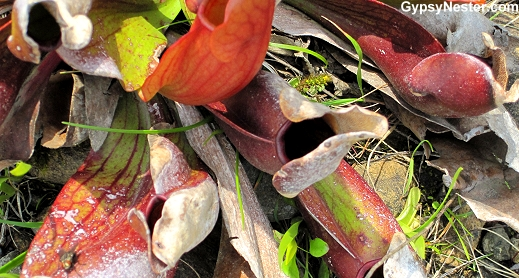 Pitcher Plant, the provencial flower of Newfoundland