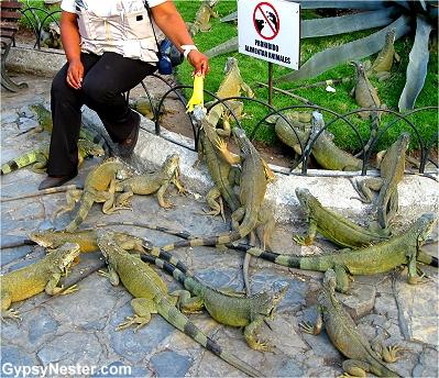 Iguana Park or Parque de las Iguanas, Guayaguil Ecuador