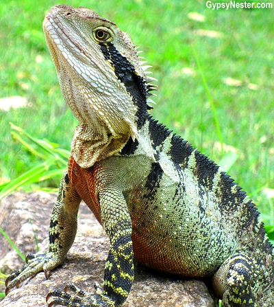 A water dragon on our bush walk near at Spicers Tamarind Resort in the Hinterlands of Queensland Australia