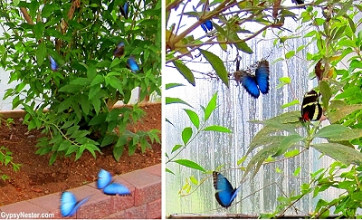 Blue butterflies in the Butterfly Garden of the Newfoundland Insectarium