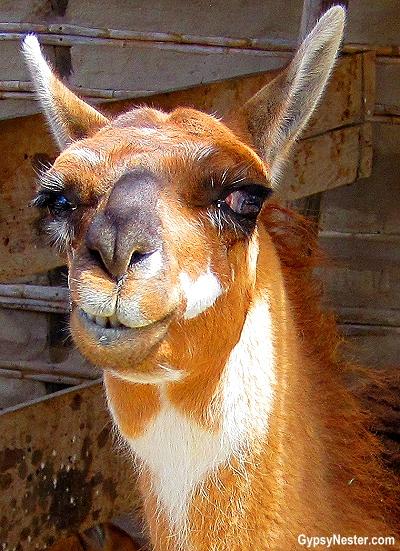 Cheeky llama the equator in the Intianan Museum in Quito Ecuador