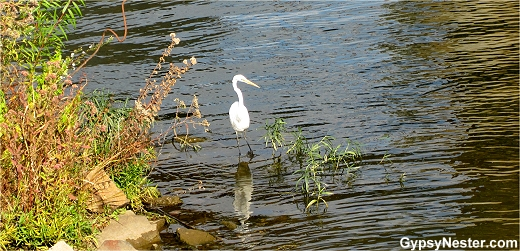 An egret in the Bill Clark Wetlands, Little Rock Arkansas