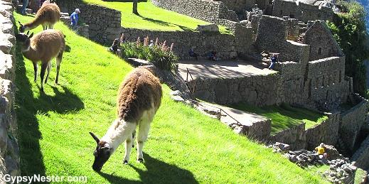 Llamas eating at Machu Picchu