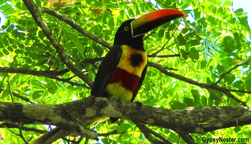 A fiery-billed aracari spotted in Manuel Antonio National Park, Costa Rica