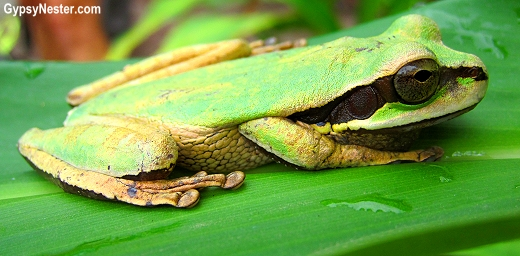A tree frog spotted in Manuel Antonio National Park, Costa Rica. GypsyNester.com