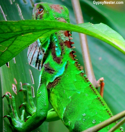 The Green Iguana of Costa Rica, spotted in Manuel Antonio National Park. GypsyNester.com