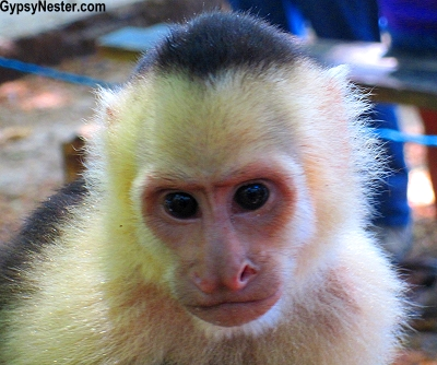 A capuchin monkey spotted in Manuel Antonio National Park, Costa Rica