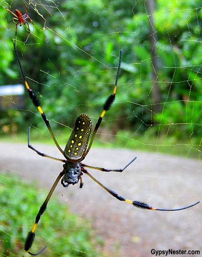 A giant banana spider spotted in Manuel Antonio National Park, Costa Rica. GypsyNester.com