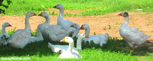 Geese at Springwillow Farm in Prince Edward Island