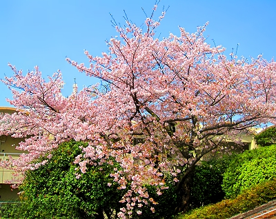 Cherry blossoms at Nagasaki's Peace Garden
