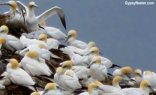 Gannets at St. Mary's Ecological Reserve, Newfoundland, Canada