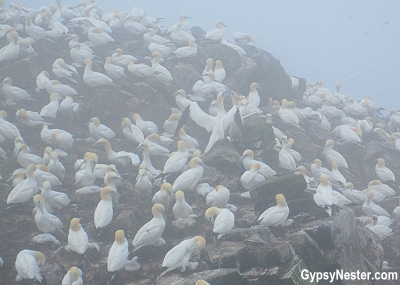 Gannets in the fog at Cape St. Mary's Ecological Reserve, Newfoundland, Canada
