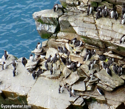 Common murres at Cape St. Mary's Ecological Park