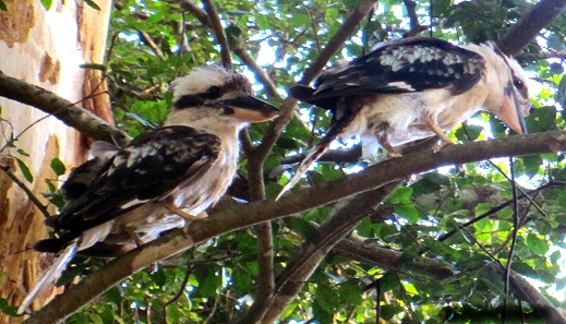 A kookaburra sits in the old gum tree in Noosa in Queensland Australia