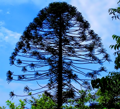 Bunya tree near Noosa, Queensland, Australia