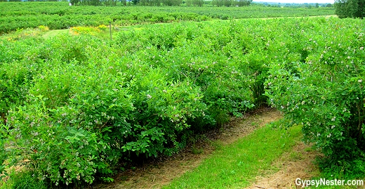 Blueberry fields at Blueberry Acres in Nova Scotia