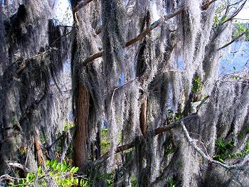 Spanish moss laden trees