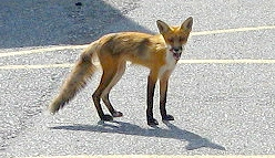 A fox in Northern Ontario
