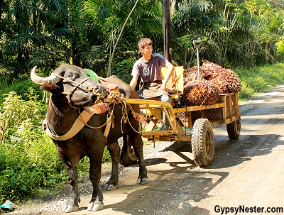 Carts pulled by buffalo are used to transport palm oil fruit in Costa Rica