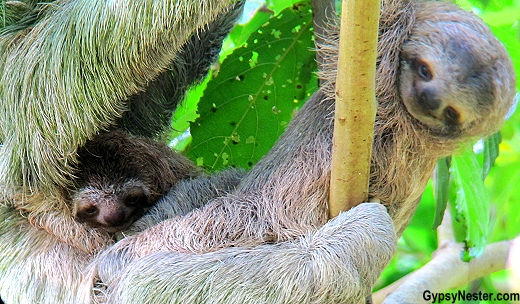 A three-toed sloth with twins on the grounds of Parador Resort and Spa in Quepos, Costa Rica