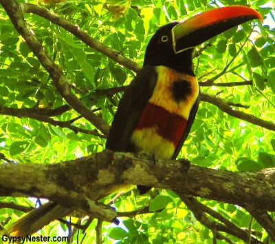 A toucan in Quepos, Costa Rica
