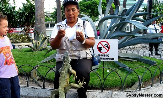 A park ranger hangs out with an iguana in Guayaquil Ecuador