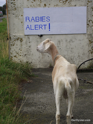 Rabies Goat by Jade of Our Oyster