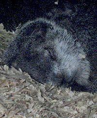Punxutawney Phil the Groundhog