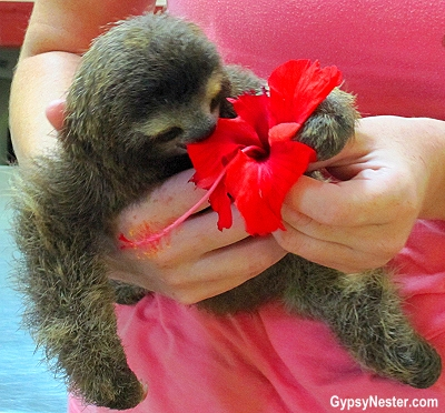 A baby sloth eats a hibiscus flower at Kids Saving the Rainforest in Costa Rica
