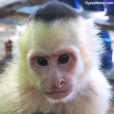 A capuchin monkey in Manuel Antonio, Costa Rica