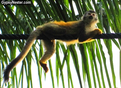 A squirrel monkey on a monkey bridge in Manuel Antonio, Costa Rica