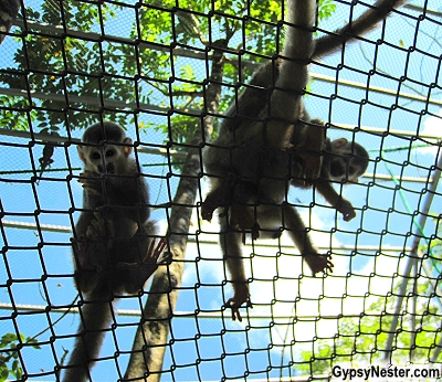 Squirrel monkeys overhead in a special enclosure at Kids Saving the Rainforest in Quepos, Costa Rica