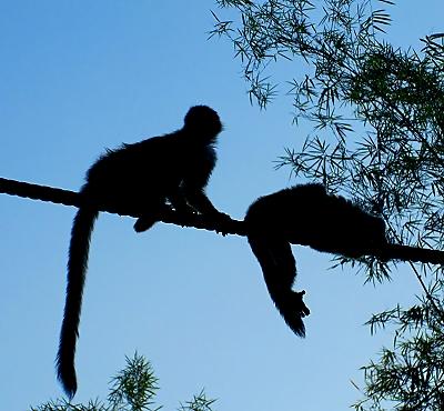Squirrel monkeys on a monkey bridge in Manuel Antonio, Costa Rica